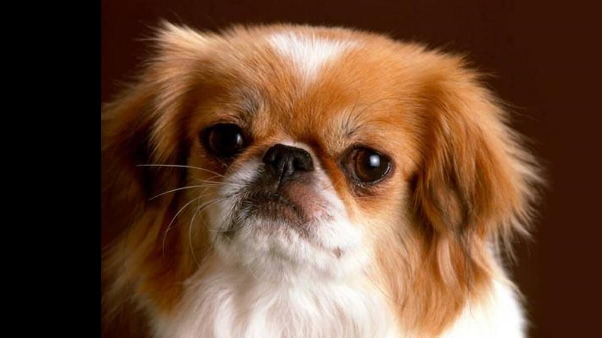 Pechinese, un cane sacro